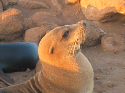 sea-lion-at-sunset.jpg